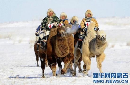 当日,内蒙古锡林郭勒盟西乌珠穆沁旗举办乌珠穆沁骆驼文化节。当地蒙古族牧民身穿民族盛装,赶着自家的骆驼从四面八方赶到会场,冒着严寒在雪原上参加骆驼选美、骆驼拉雪橇、10公里骆驼速度赛、5公里二岁骆驼速度赛、训骆驼、骆驼文化知识竞赛等一系列独具民族特色的活动。新华社记者任军川摄 新华社呼和浩特1月8日电(记者 王春燕)正在内蒙古自治区西乌珠穆沁旗举行的冰雪嘉年华活动上,除了身着民族传统服饰的牧民们进行蒙古族传统的雪地赛马、雪地赛骆驼比赛,奥运传统项目越野滑雪也在这里上演。来自瑞典、挪威、美国等地的越野